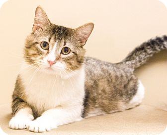 Domestic Shorthair Cat for adoption in Chicago, Illinois - Robert