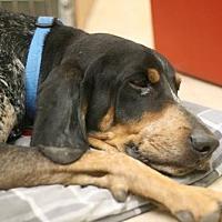 Coonhound Dog for adoption in West Palm Beach, Florida - Waylon