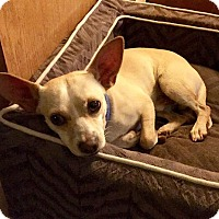 Chihuahua Mix Dog for adoption in Lawton, Oklahoma - LIP