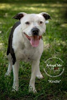 American Pit Bull Terrier Mix Dog for adoption in Alabaster, Alabama - Kindle