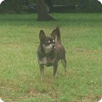 Adopt A Pet :: Coco - Pinellas Park, FL