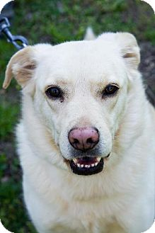 Labrador Retriever Mix Dog for adoption in Ashland, Virginia - Sandy-ADOPTED!!!