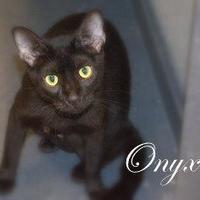 Adopt A Pet :: Onyx - Middleburg, FL