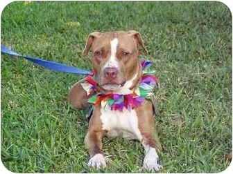 Pit Bull Terrier Dog for adoption in Boca Raton, Florida - Chocolate