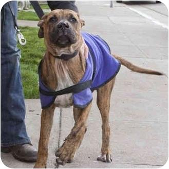 Great Dane Mix Puppy for adoption in Berkeley, California - Duke