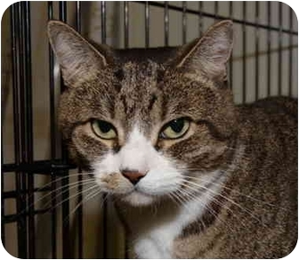 Domestic Shorthair Cat for adoption in Brooklyn, New York - Isabella