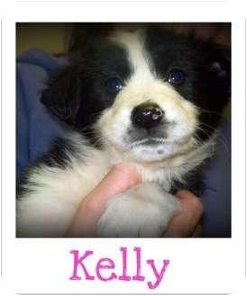 Border Collie/Sheltie, Shetland Sheepdog Mix Puppy for adoption in Southport, North Carolina - KELLY