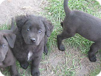 Australian Shepherd/Labrador Retriever Mix Puppy for adoption in Wauseon, Ohio - Bear