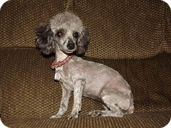 Poodle (Toy or Tea Cup) Mix Dog for adoption in Broken Bow, Oklahoma - Margo