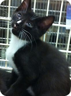 Domestic Shorthair Kitten for adoption in Pittstown, New Jersey - Ninja