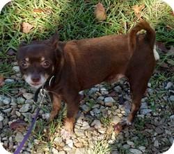 Chihuahua Dog for adoption in Colorado Springs, Colorado - Hoover