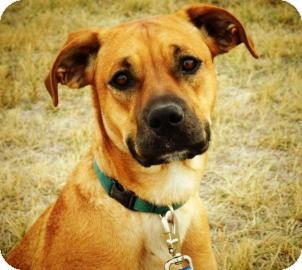 Boxer/Labrador Retriever Mix Dog for adoption in Cheyenne, Wyoming - Skyla