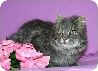 Domestic Longhair Cat for adoption in Ladysmith, Wisconsin - Elsie