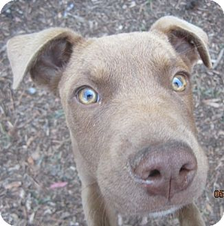 American Pit Bull Terrier Puppy for adoption in Westminster, California - Cumin