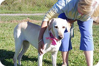 Labrador Retriever/Greyhound Mix Dog for adoption in Elyria, Ohio - Honey