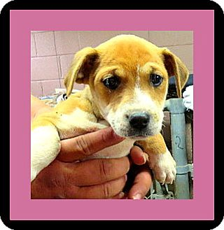 Jack Russell Terrier Mix Puppy for adoption in Woodlyn, Pennsylvania - Paris