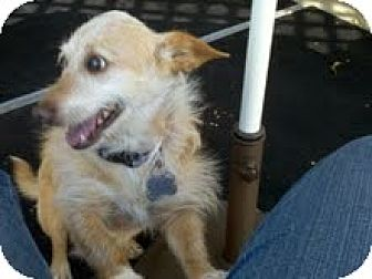 Norfolk Terrier Mix Dog for adoption in Creston, California - Walter