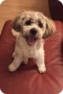 Maltese/Poodle (Miniature) Mix Dog for adoption in Las Vegas, Nevada - Zig Zag