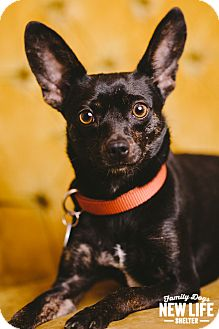 Chihuahua/Rat Terrier Mix Dog for adoption in Portland, Oregon - Mingus