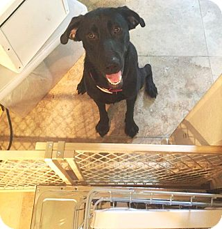 Labrador Retriever Mix Dog for adoption in Houston, Texas - Angel