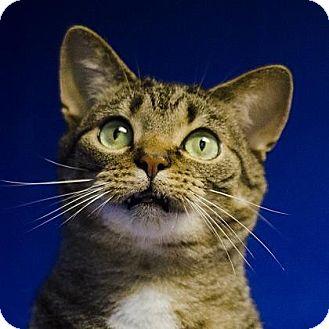 British Shorthair Cat for adoption in Adrian, Michigan - Theo