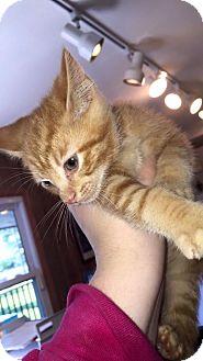 Domestic Shorthair Kitten for adoption in Hanna City, Illinois - Cheese