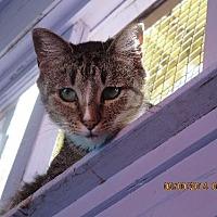 Domestic Shorthair Cat for adoption in Coos Bay, Oregon - Oscar