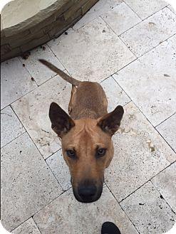 Shepherd (Unknown Type)/Retriever (Unknown Type) Mix Puppy for adoption in San Antonio, Texas - Tanner