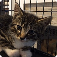 Adopt A Pet :: 11 week tiger female kitten - Manasquan, NJ