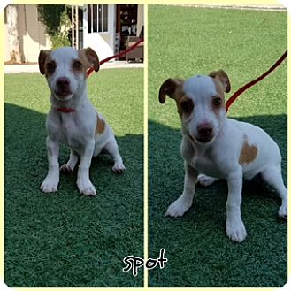 Jack Russell Terrier Mix Puppy for adoption in Newport Beach, California - Spot
