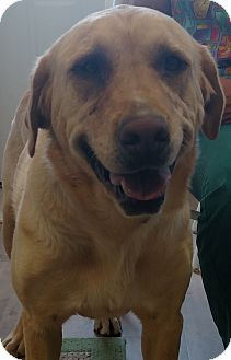 Retriever (Unknown Type) Dog for adoption in Divide, Colorado - Della