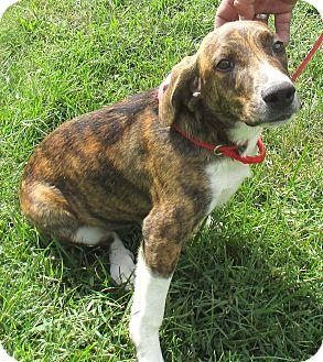 Hound (Unknown Type) Mix Puppy for adoption in Reeds Spring, Missouri - Lavern