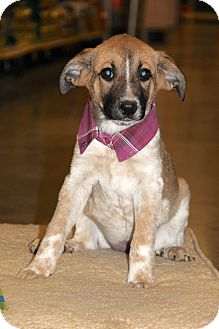 Australian Cattle Dog Mix Puppy for adoption in New Oxford, Pennsylvania - Abby