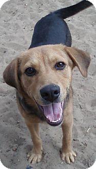 Beagle/Shepherd (Unknown Type) Mix Dog for adoption in Melrose, Florida - Scamper