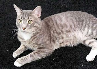 American Shorthair Cat for adoption in Toms River, New Jersey - Catsby