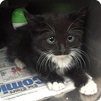 Domestic Shorthair Kitten for adoption in Clarkesville, Georgia - Shodu