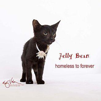 Domestic Shorthair Kitten for adoption in Sherman Oaks, California - Jelly Bean