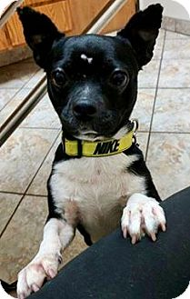 Boston Terrier/Chihuahua Mix Dog for adoption in Irving, Texas - Briar