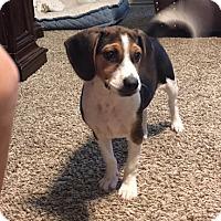 Adopt A Pet :: Duchess - Houston, TX