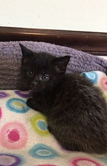 Domestic Mediumhair Cat for adoption in Sistersville, West Virginia - Tessa