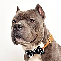 Pit Bull Terrier/Bulldog Mix Dog for adoption in Columbus, Ohio - Faust (Foster or Adopt)