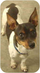 Chihuahua/Rat Terrier Mix Dog for adoption in House Springs, Missouri - Chuck