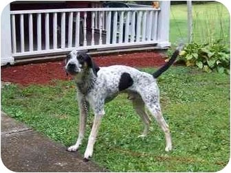 Bluetick Coonhound/Jack Russell Terrier Mix Dog for adoption in Bloomsburg, Pennsylvania - Cookie