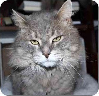 Maine Coon Cat for adoption in Markham, Ontario - Leo
