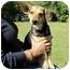 Photo 2 - Dachshund/Shepherd (Unknown Type) Mix Dog for adoption in Foster, Rhode Island - Rocky