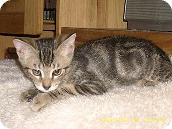 Domestic Shorthair Kitten for adoption in Brea, California - FINN