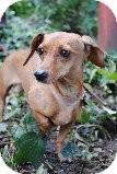 Dachshund Mix Dog for adoption in Encino, California - Cha Cha