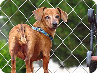 Dachshund Mix Dog for adoption in Meridian, Idaho - Nicki