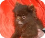 Pomeranian Dog for adoption in Antioch, Illinois - Prophet ADOPTED!!