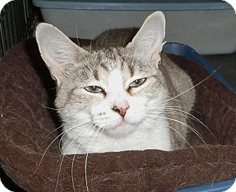 Siamese Cat for adoption in Pueblo West, Colorado - Glory